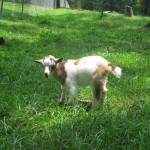 Edible And Poisonous Plants For Goats Liberty
