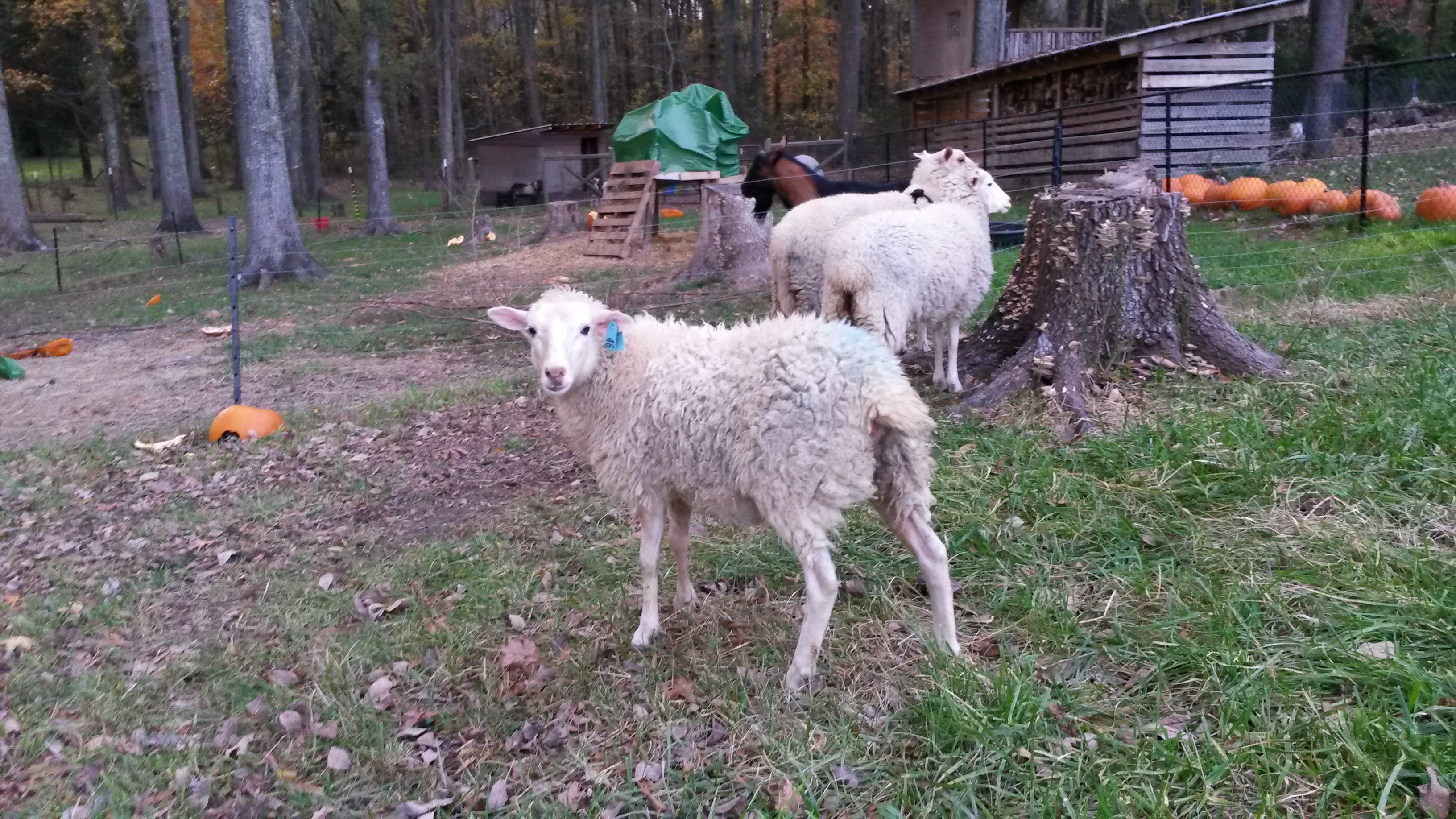 Gulf Coast Native Sheep | Liberty Homestead Farm